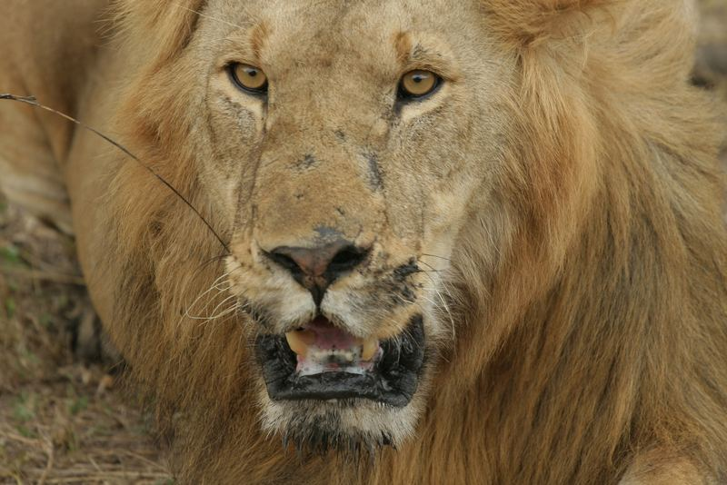 The Lion King in der Massai Mara - Kenia