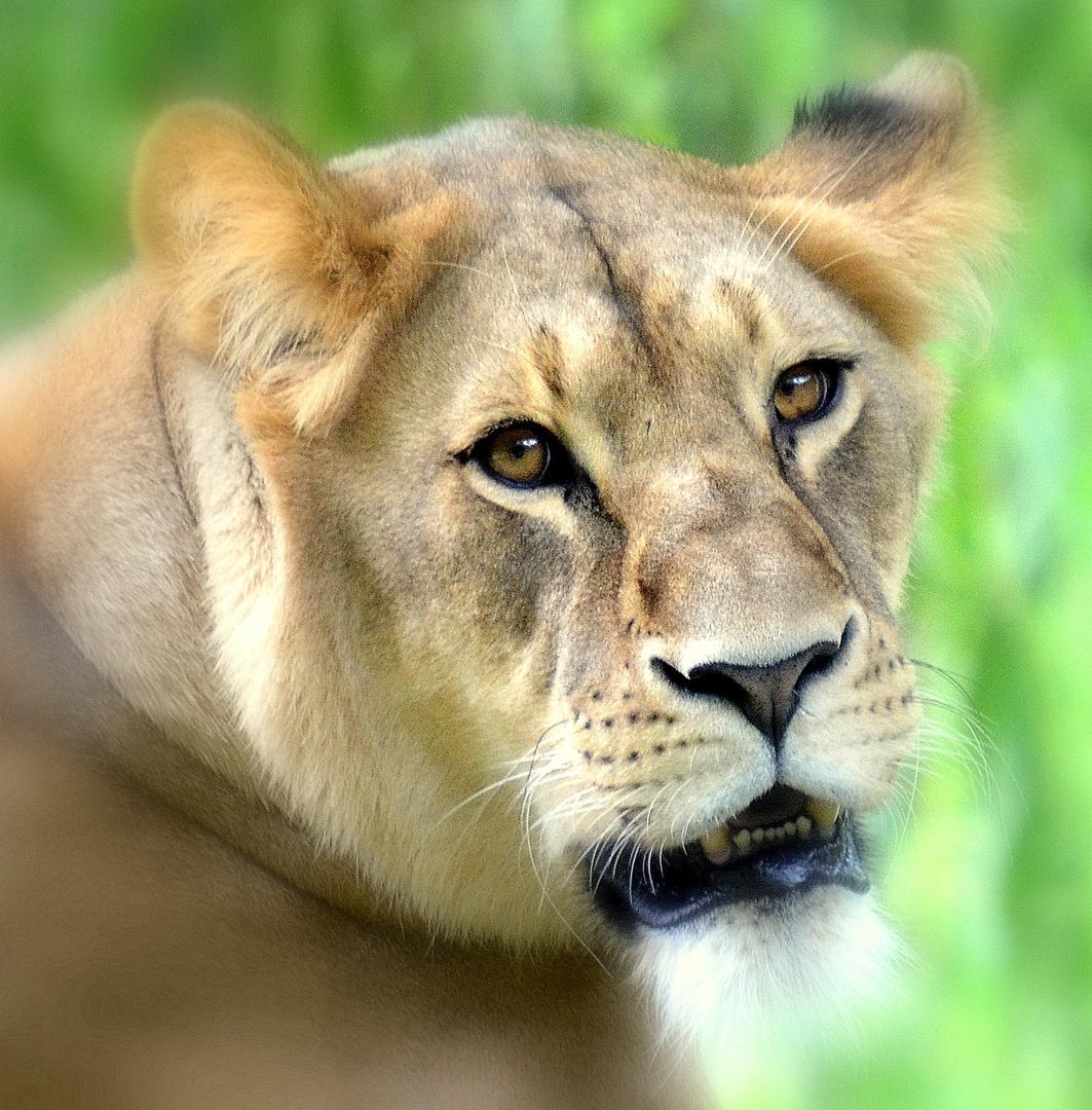 The Lion Königin
