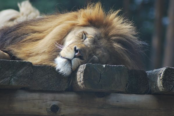 the lion sleeps today...