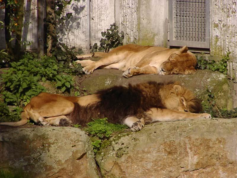 The lions sleep tonite...