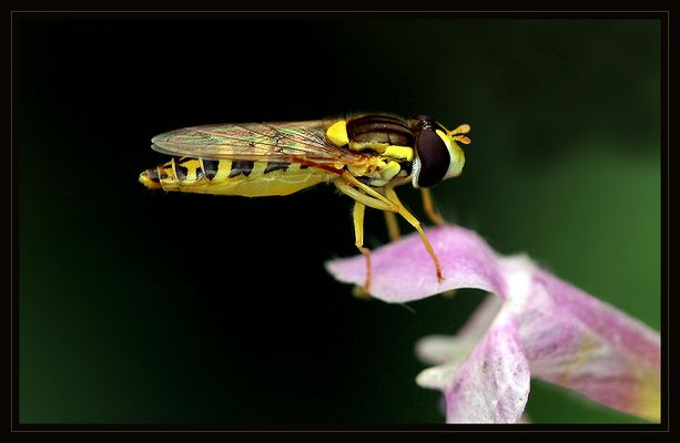 The little Hoverfly