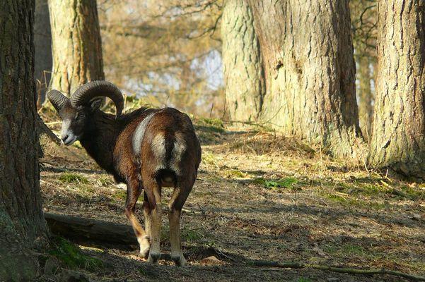 The Living Forest (104) : European Mouflon