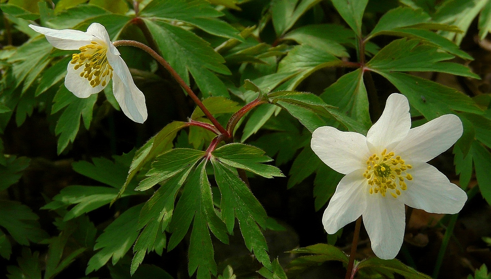 The Living Forest (105) : Wood Anemone