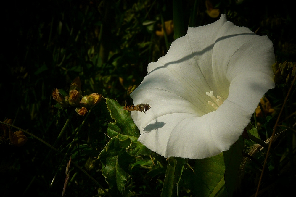 The Living Forest (113) : Hedge Bindweed