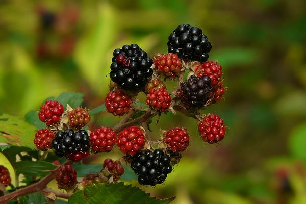 The Living Forest (121) : Blackberries