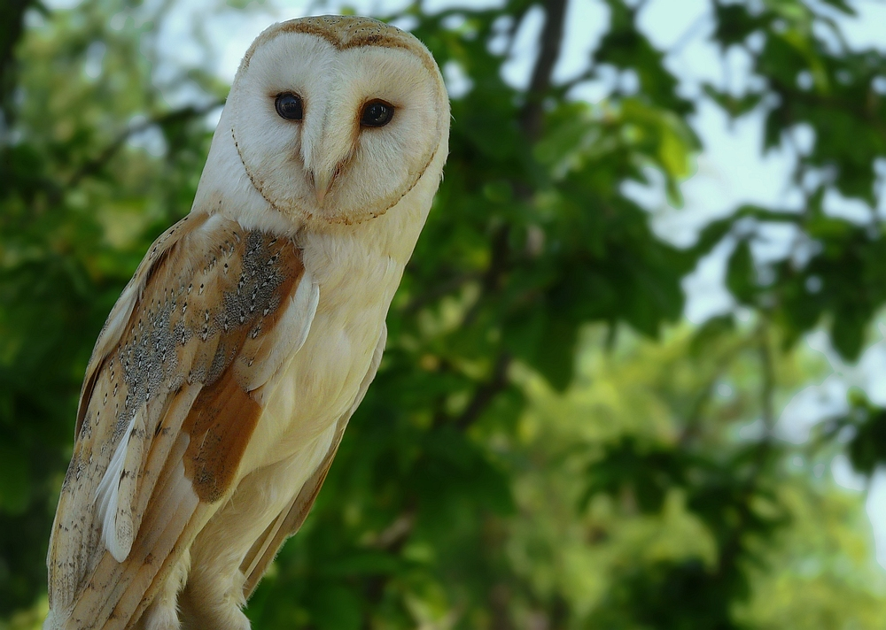 The Living Forest (123) : Barn Owl