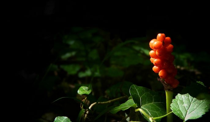 The Living Forest (129) : Cuckoo Pint