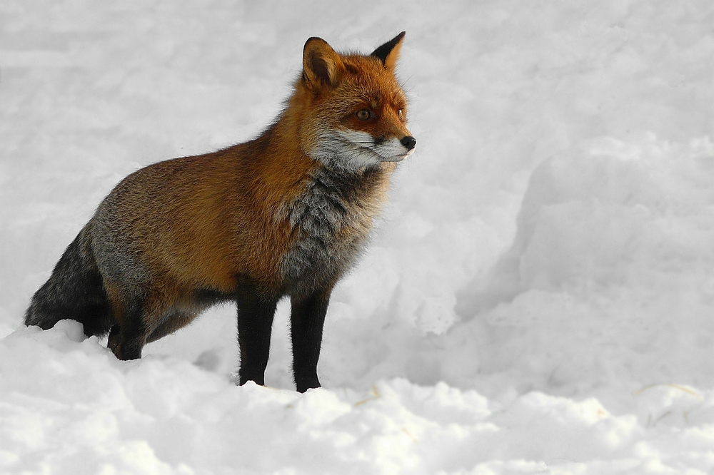 The Living Forest (135) : Red Fox