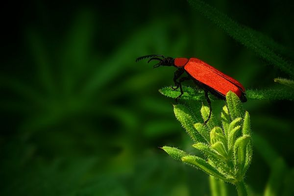 The Living Forest (155) : Cardinal Beetle