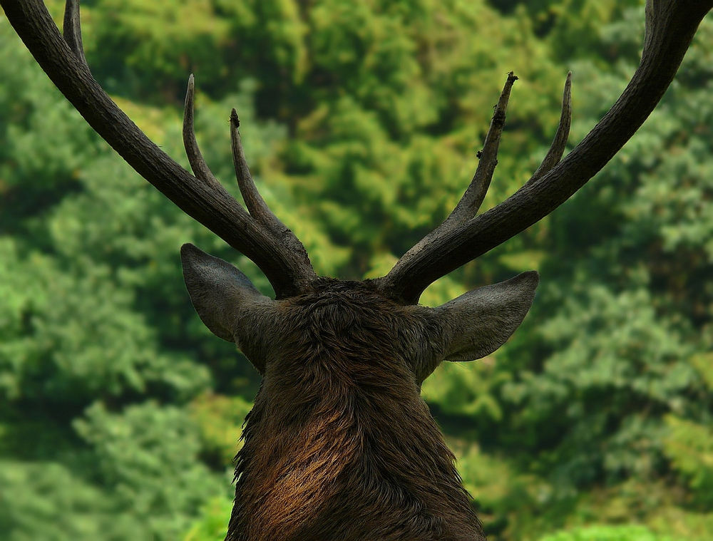 The Living Forest (171) : Red Deer