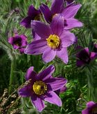 The Living Forest (182) : Pasque Flower