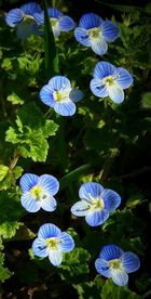 The Living Forest (183) : Persian Speedwell