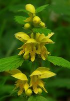 The Living Forest (191) : Yellow Archangel