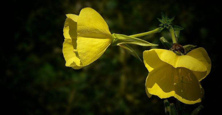 The Living Forest (198) : Evening Primrose