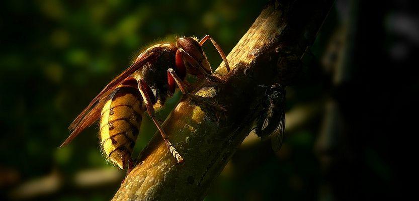 The Living Forest (204) : European Hornet (1)