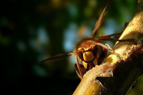 The Living Forest (205) : European Hornet (2)
