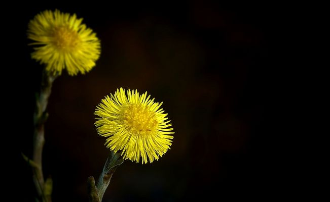 The Living Forest (226) : Coltsfoot