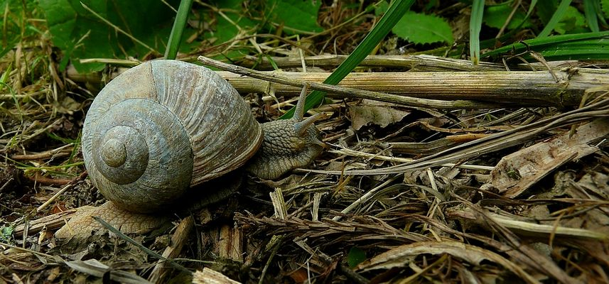 The Living Forest (247) : Roman Snail