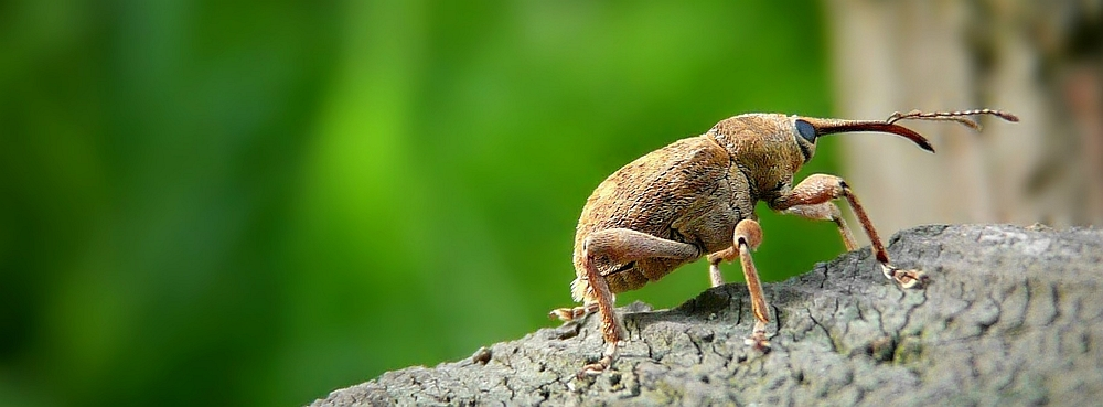 The Living Forest (256) : Acorn Weevil