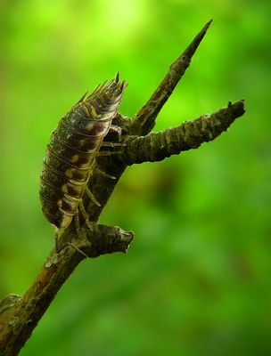 The Living Forest (261) : Shiny Woodlouse