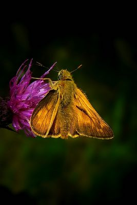The Living Forest (263) : Large Skipper
