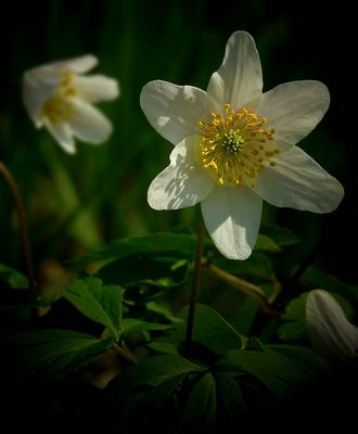 The Living Forest (271) : Wood Anemone