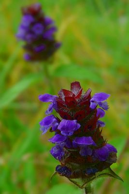The Living Forest (287) : Common Selfheal