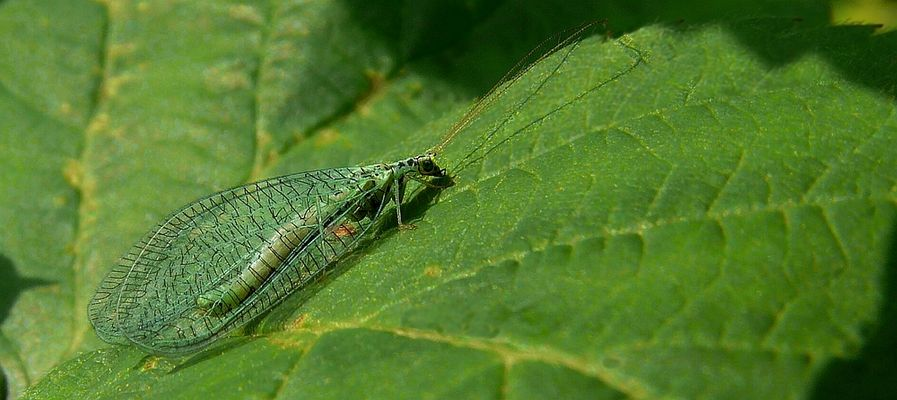 The Living Forest (288) : Green Lacewing