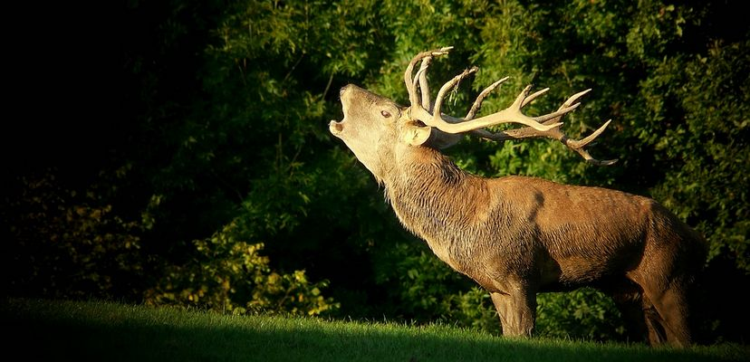 The Living Forest (299) : Red Deer