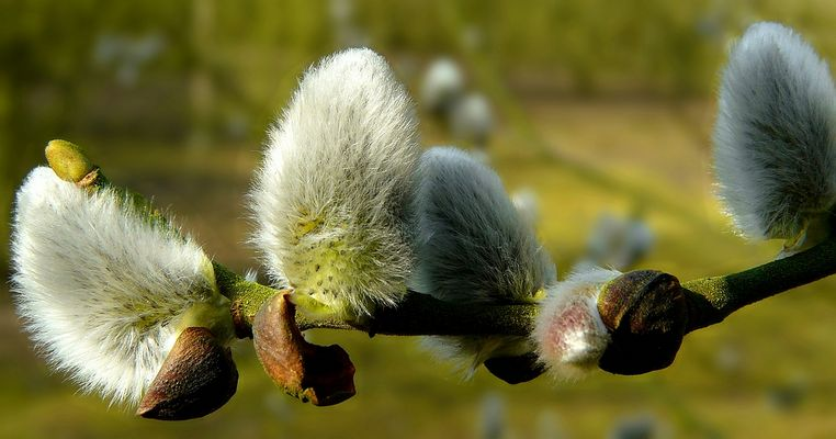 The Living Forest (303) : Willow Catkins