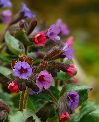 The Living Forest (306) : Lungwort