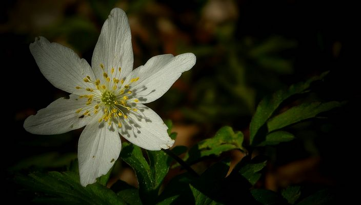 The Living Forest (308) : Wood Anemone