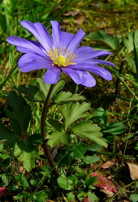 The Living Forest (309) : Grecian Windflower