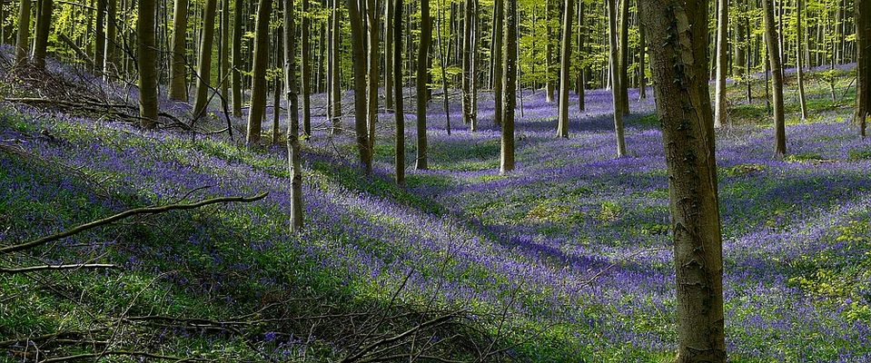 The Living Forest (311) : A sea of Bluebells