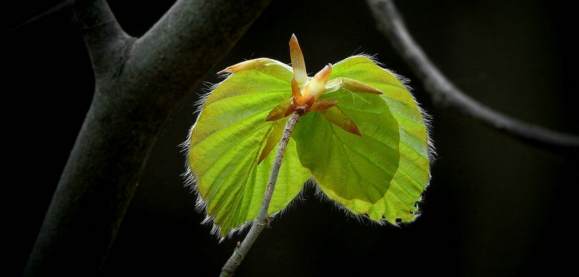 The Living Forest (313) : Birth of a leaf