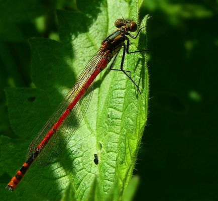 The Living Forest (314) : Large Red Damselfly