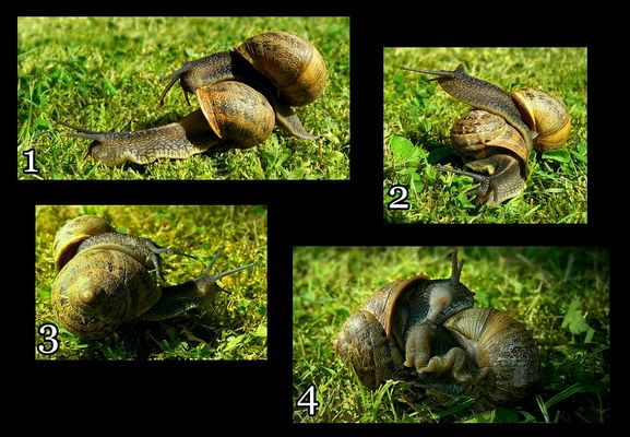 The Living Forest (315) : mating snails
