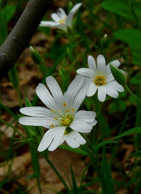 The Living Forest (316) : Greater Stitchwort