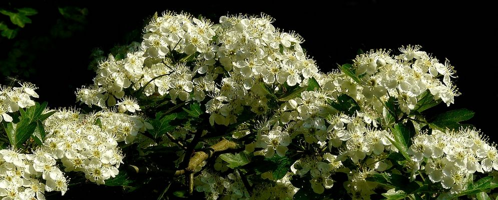 The Living Forest (317) : Common Hawthorn