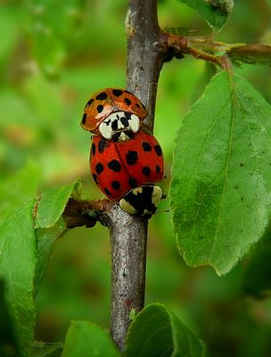The Living Forest (319) : Harlequin Ladybirds