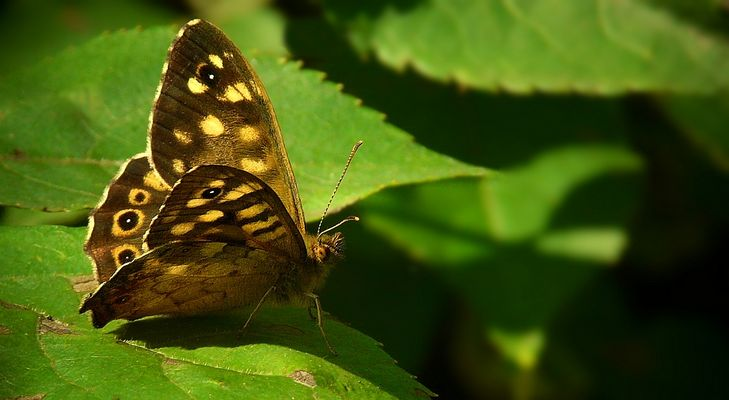 The Living Forest (321) : Speckled Wood
