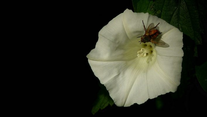The Living Forest (325) : Hedge Bindweed