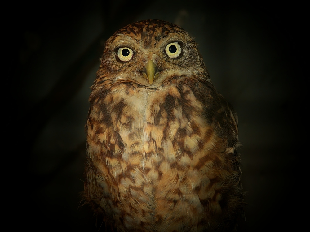 The Living Forest (33) : Little Owl by night