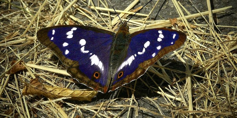 The Living Forest (330) : Purple Emperor (male)