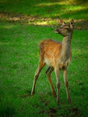 The Living Forest (332) : Red Deer calf