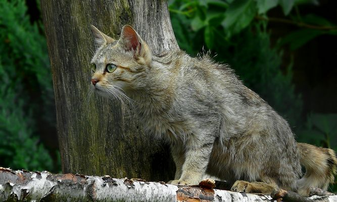 The Living Forest (334) : European Wildcat