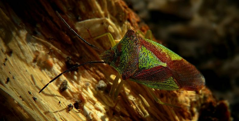 The Living Forest (346) : Hawthorn Shield Bug