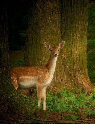 The Living Forest (348) : Fallow Deer