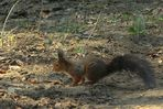 The Living Forest (35) : Red Squirrel