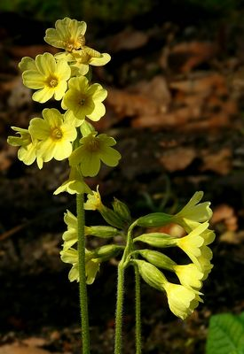 The Living Forest (355) : Oxlip